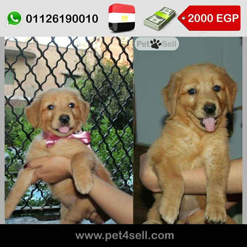 Egypt Cairo Now Avaliable Pure Golden Retriever Ready For New