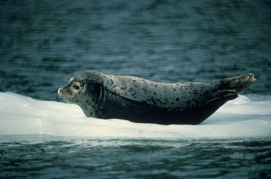 Картинки тюлень на льдине, раскладушка