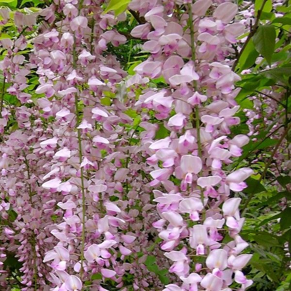 glycine du japon rosea wisteria floribunda plante grimpante i ekler pinterest gardens. Black Bedroom Furniture Sets. Home Design Ideas