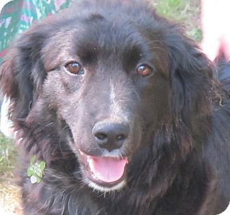 Curly Coated Retriever Border Collie Mix Curly Coated Retriever