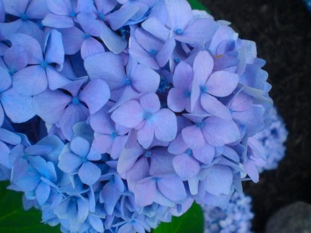 Close Up Picture Of Hydrangea Flowers In Blue Purplish Color Jpg Hydrangea Flower Close Up Pictures Hydrangea