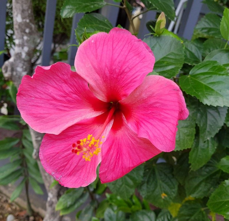 Beautiful Pink Hibiscus Flower A Tropical Flowering Plant That Has Hundreds Of Species And Are Native To Warm Temperature Floweringplant Flowergarden With Images Flowers