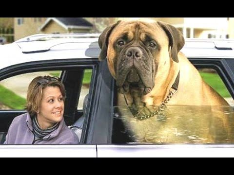 Top Biggest Dogs In The World With Funny Dog Videos By Breeds - 10 of the worlds biggest pets