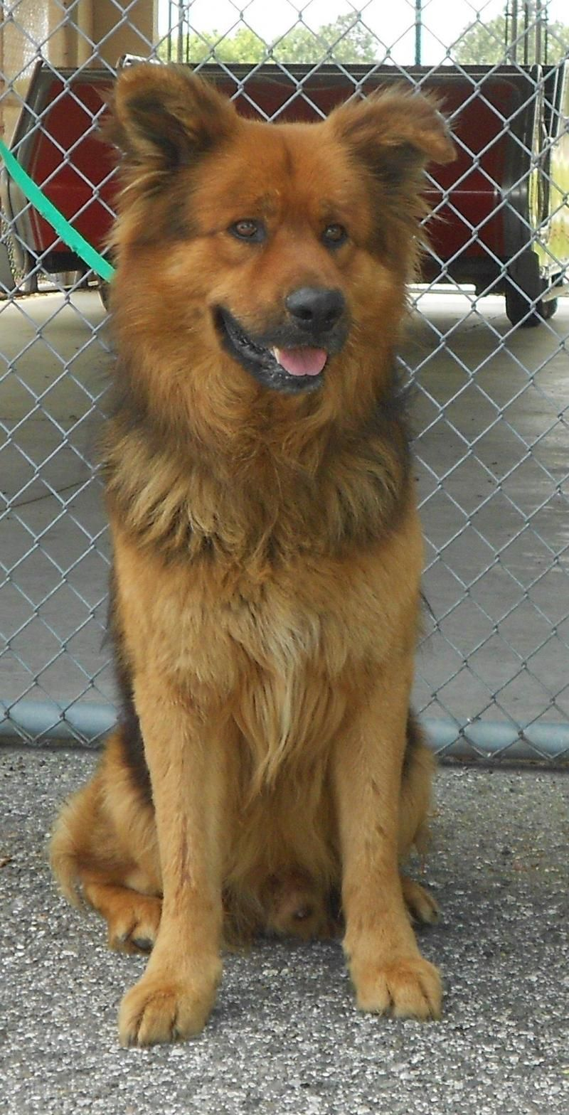 Adopt Chewbacca On Dogs German Shepherd Dogs Dogs Up For Adoption