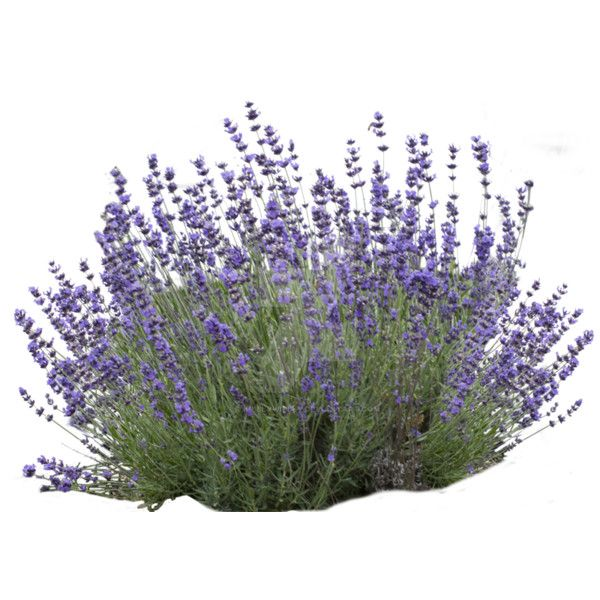 Lavender Bush Png By Kibblywibbly Da59p1p Png Liked On Polyvore Featuring Flowers Backgrounds Landscape And Filler Lavender Bush Plants Landscape Elements