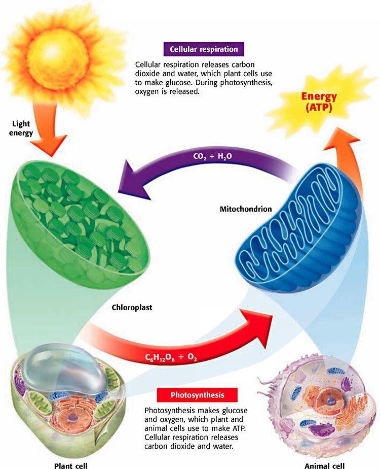Photosynthesis Cellular Respiration And Fermentation Diagram Auto