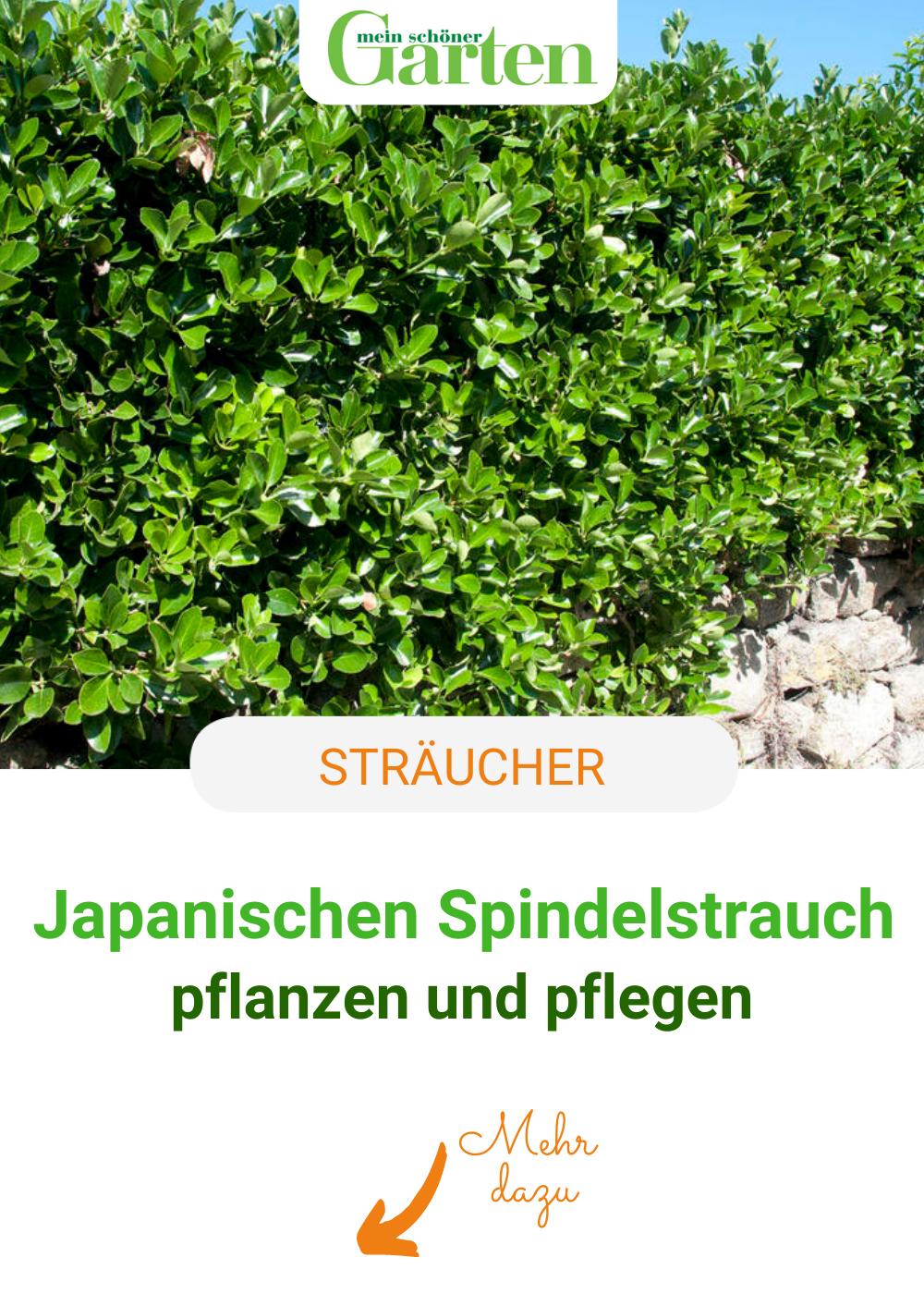 Japanischer Spindelstrauch Immergrune Hecken Und Strukturpflanze Pflanzen Immergrune Pflanzen Japan