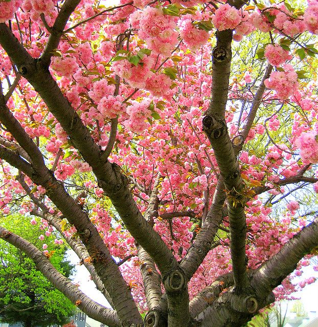 Cherry Tree Cherry Tree Beautiful Tree Beautiful Flowers