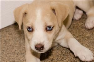 Pearl Is An Adoptable Hound Siberian Husky Dog In Knoxville Tn