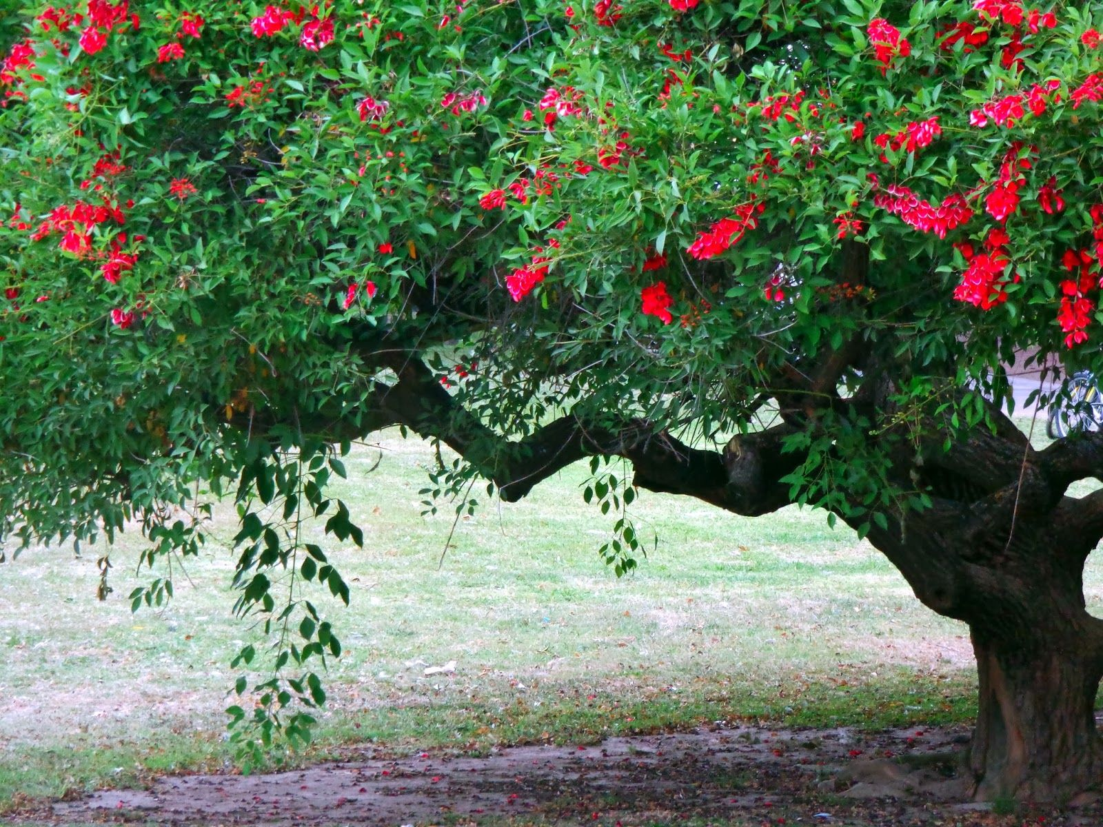 La Leyenda de la Flor del Ceibo