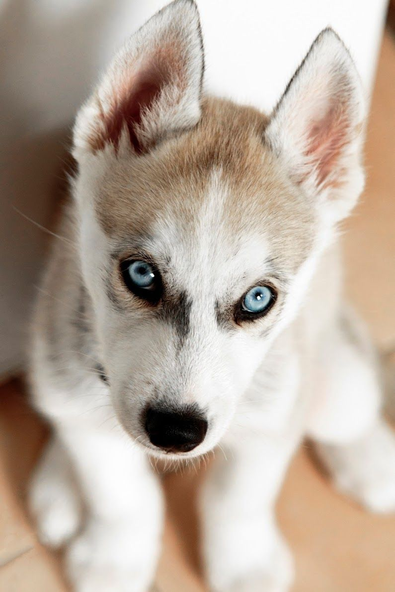 Pin By Deidre Dorsett On Huskies Husky Puppy Siberian Husky