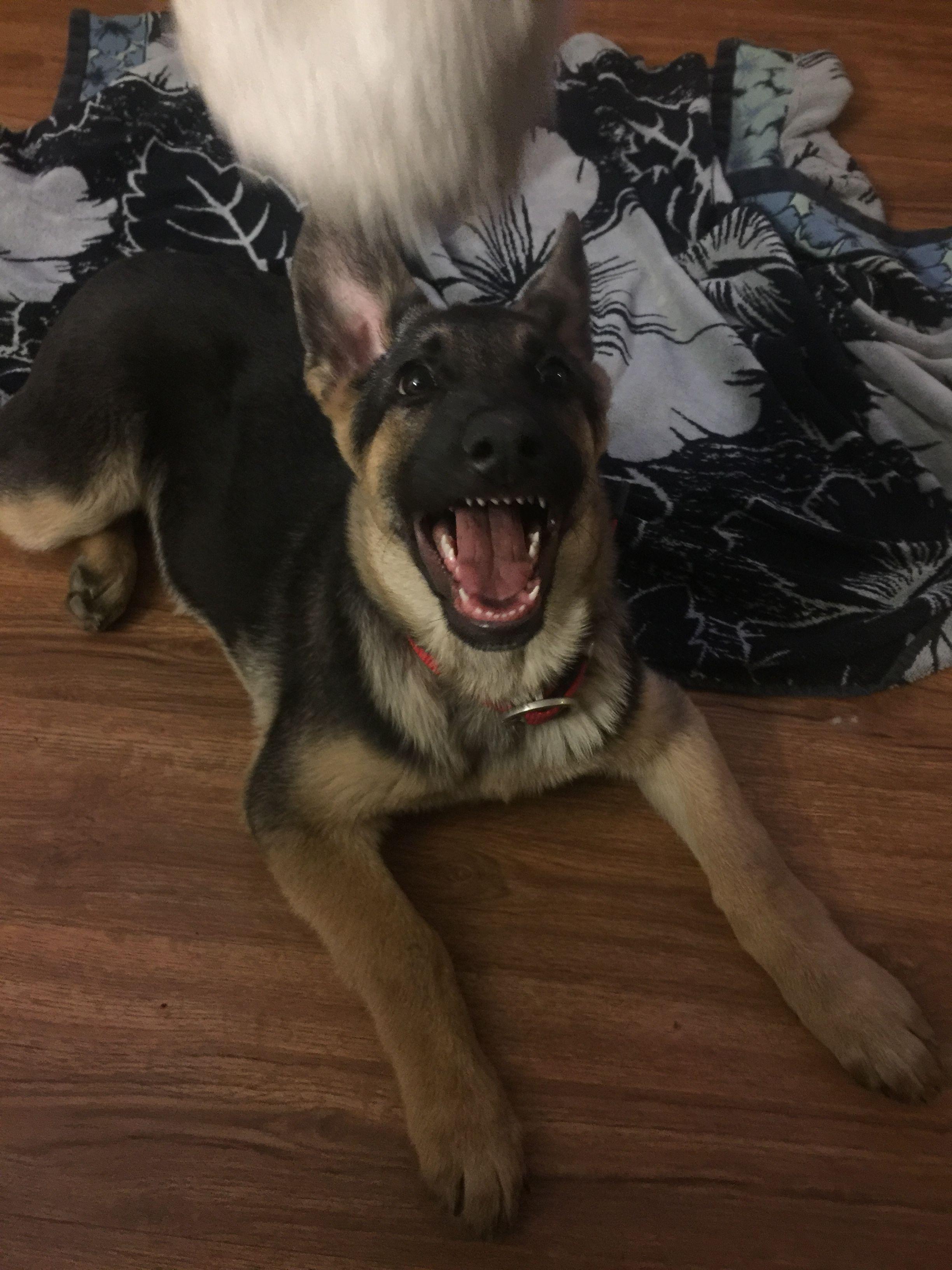 German Shepherd Puppy Teeth : german, shepherd, puppy, teeth, Those, Sharp, Puppy, German, Shepherd, Teeth., Puppies,