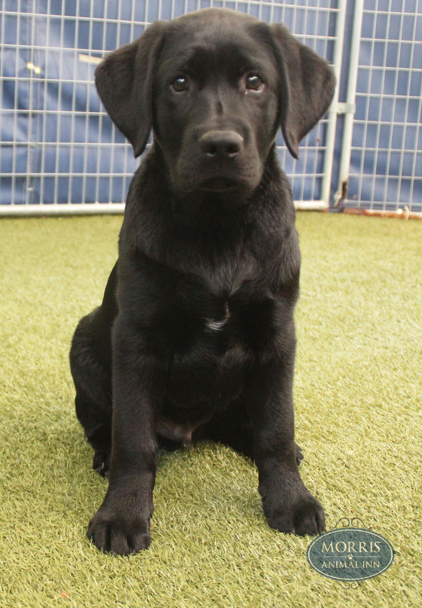 Moses A 3 Month Old Black Labrador Loves To Attend Puppy Daycare