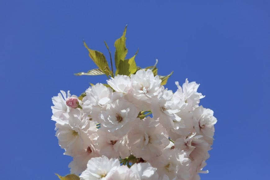 22 Different Types Of Cherry Blossoms And Interesting Facts Types Of Cherries Anemone Flower Cherry Blossom Tree
