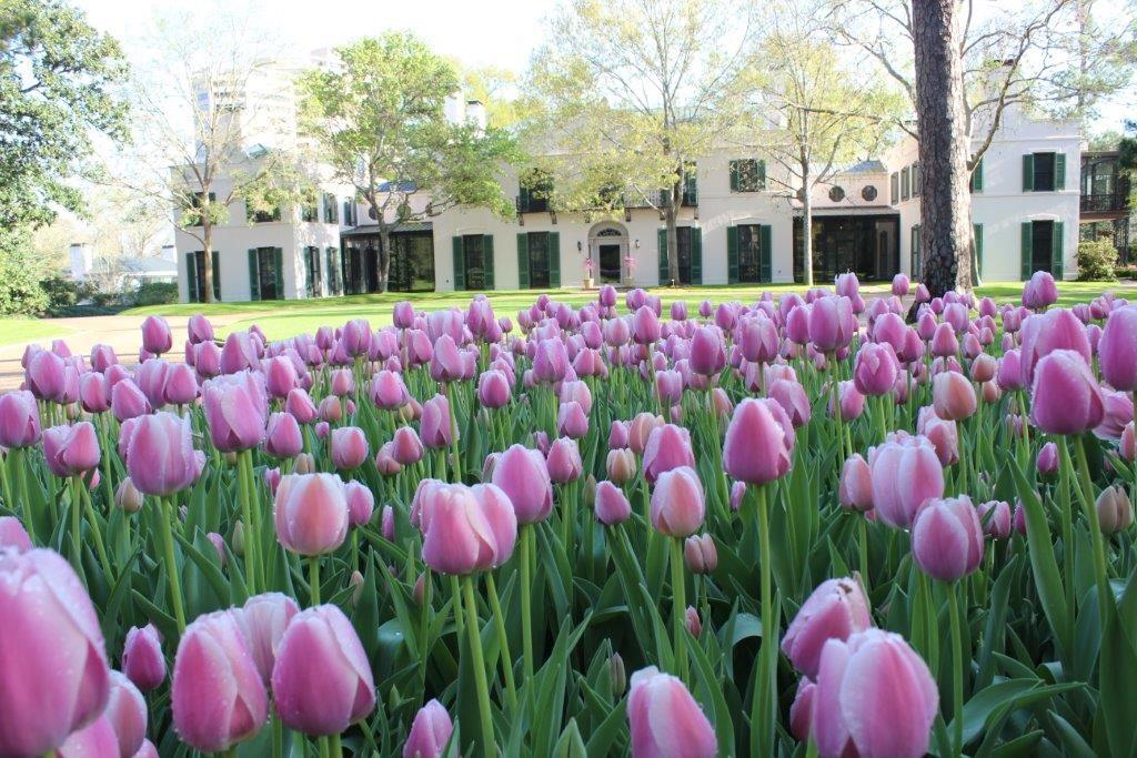 Tulips At Bayou Bend Garden Bayou