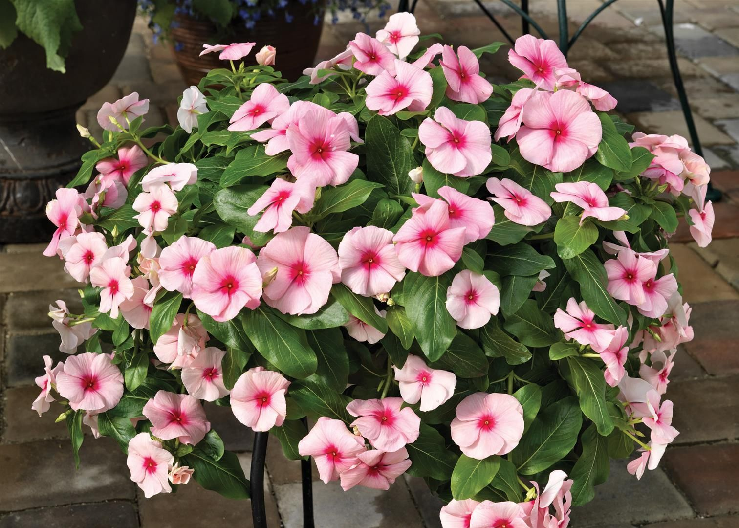Strawberry Cascade Vinca Google Search Vinca Annual Flowers