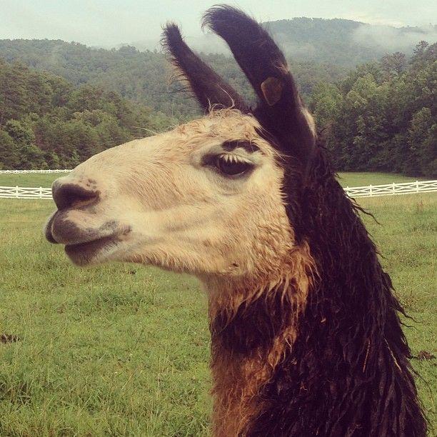 Blackberry Farm: Llamas on the Farm
