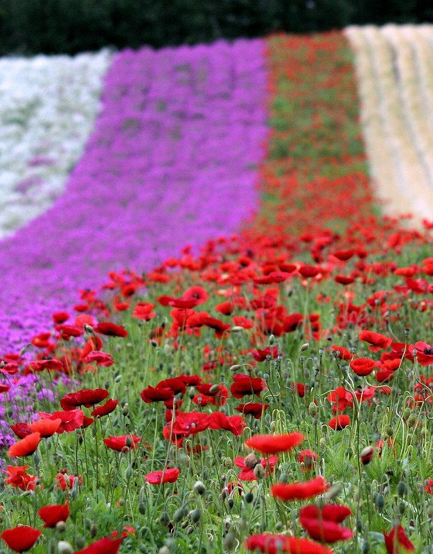 red poppy and other flowers - Furano, Hokkaido