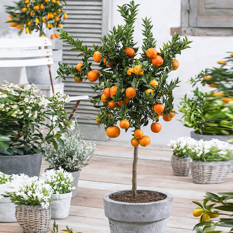 Buy a container plant now Mandarin Orange Tree | Bakker.com ...