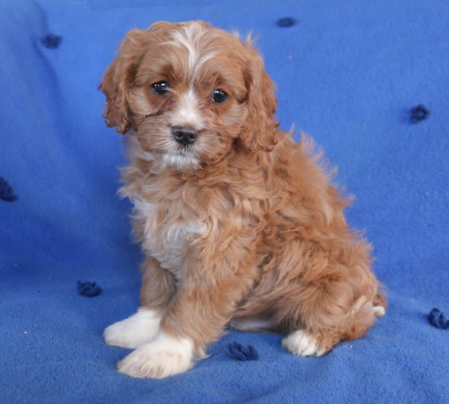 Pin By Kathryn On Cute And Beautiful Animals In 2020 Cavapoo Puppies Cavapoo Puppies For Sale Cavapoo