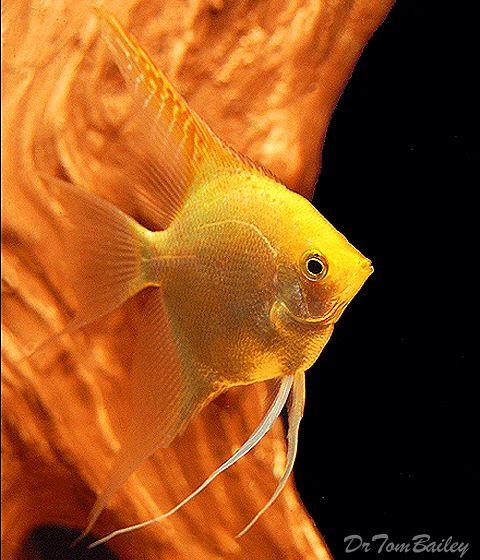 Gold Angelfish Featured Item Gold Angel Freshwater Freshwaterfish Aquarium Aquariums Fish Petfish Fe Aquarium Fish Angel Fish Tropical Fish Aquarium