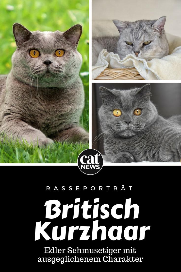 Die Britisch Kurzhaar Katze Edler Schmusetiger Mit Ausgeglichenem