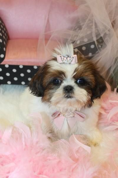 Teacup Shih Tzu Puppy For Sale In Florida Mascotas Lindo