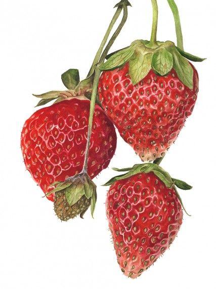 "Anna Mason Art |  Strawberries 'Everest' Botanical print from an original watercolor  12"" x 16"", Shttp://annamasonart.com"