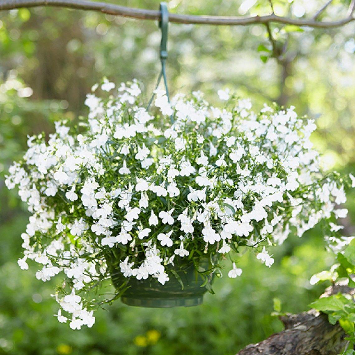 813556ded Sommerblomster i ampler– slik lykkes du | { GV8 Hage. Spirer. Plants ...
