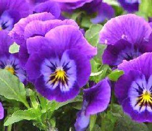 Pansy Flower Essence Pansy Flower Remedy Purple Flowers Pansies Beautiful Flowers