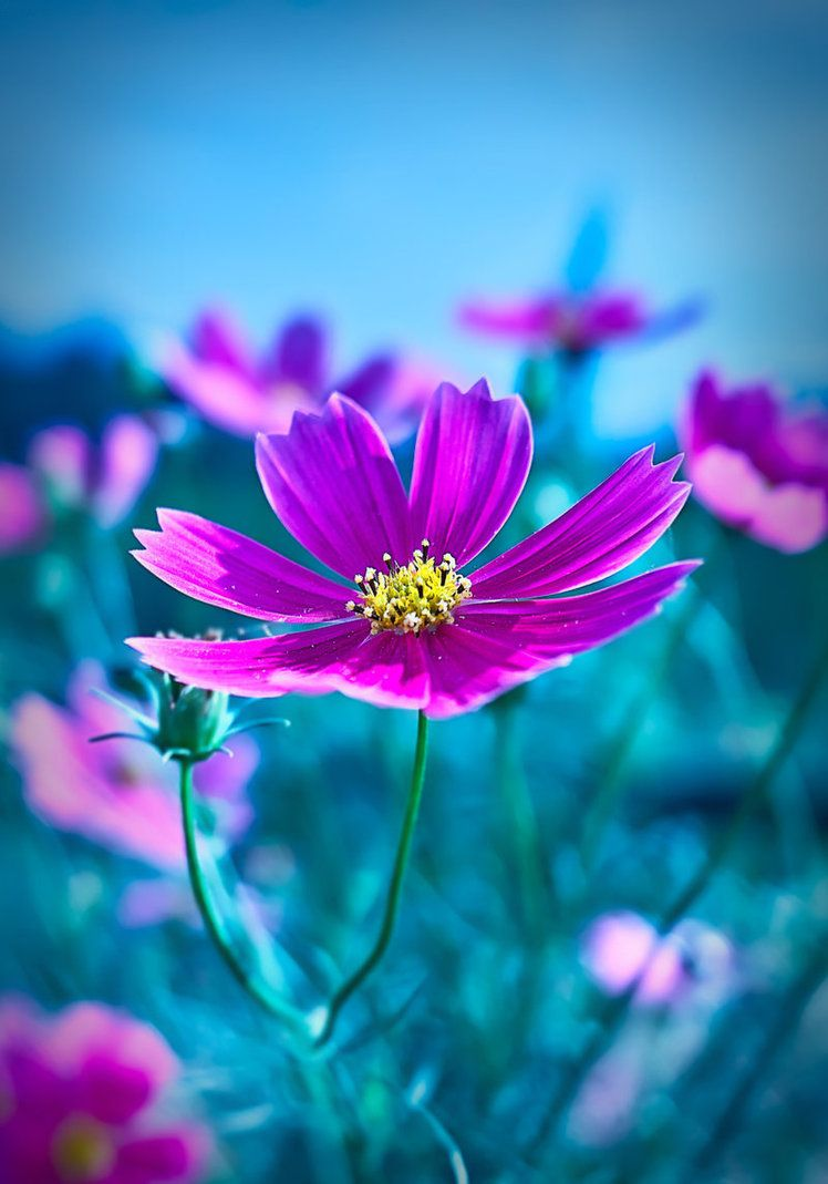 Cosmos Are My Birthday Flower I Love The Purple And They Always