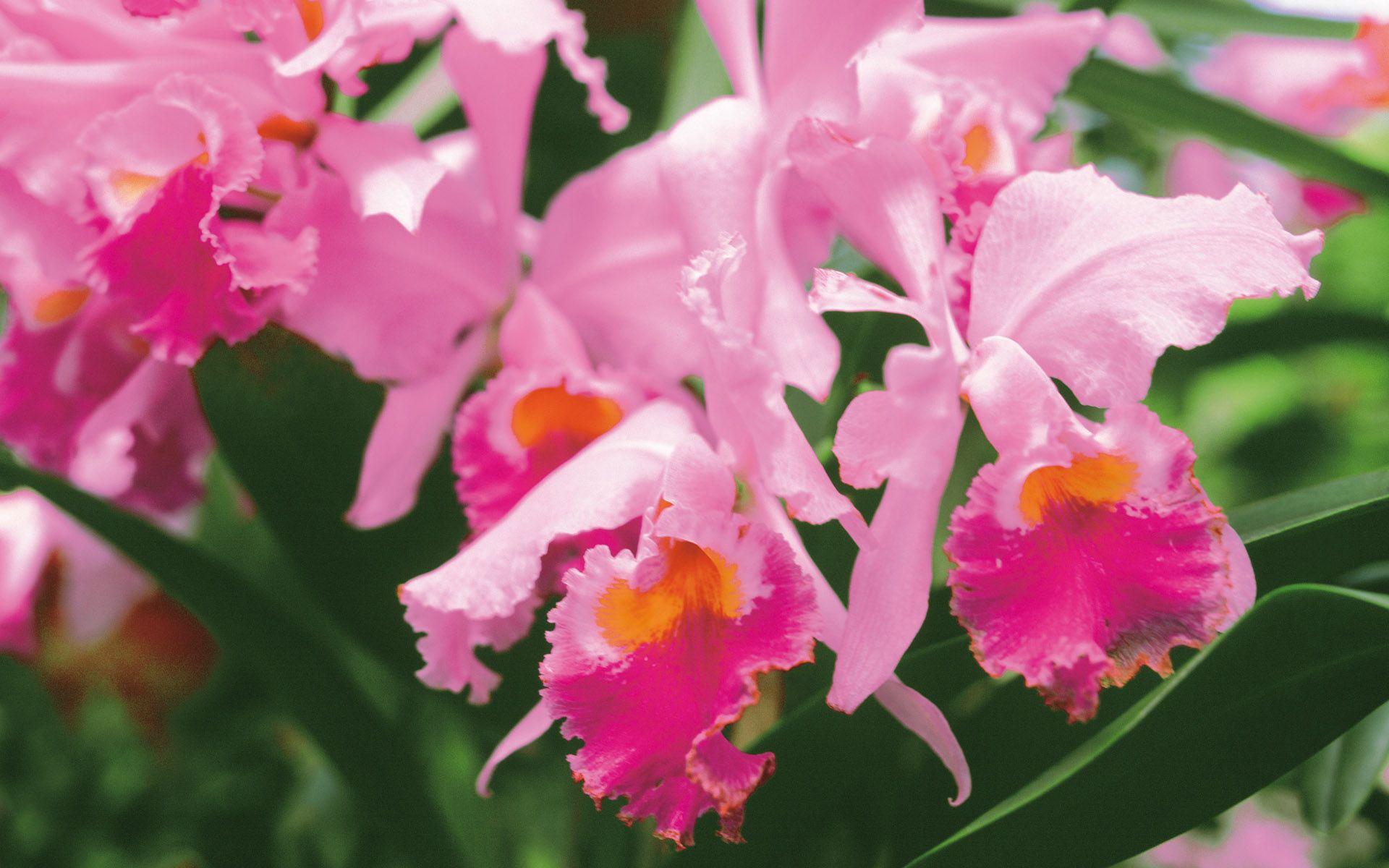 Pink orchid my world pinterest pink carnations hd wallpaper
