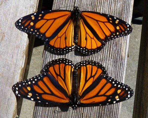 It's easy to tell the difference between male and female monarchs.