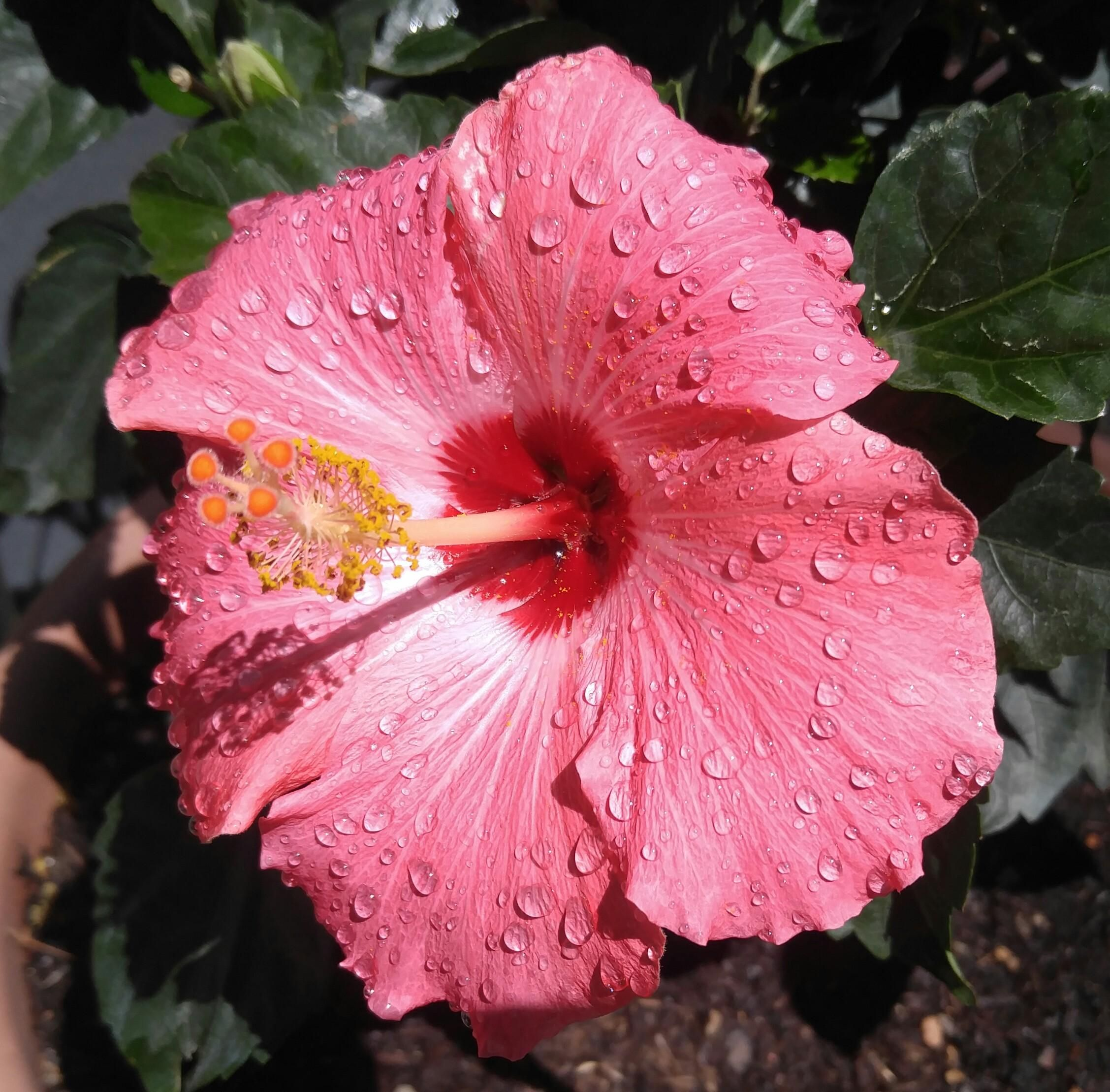 hibiscus #gardening #garden #DIY #home #flowers #roses #nature #landscaping #horticulture