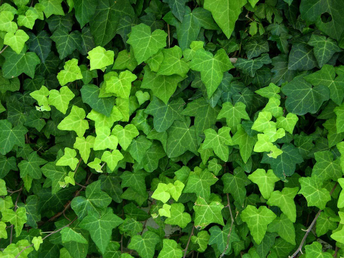 Plante Sur Les Murs glycine, clématite, lierre grimpant : planter des plantes