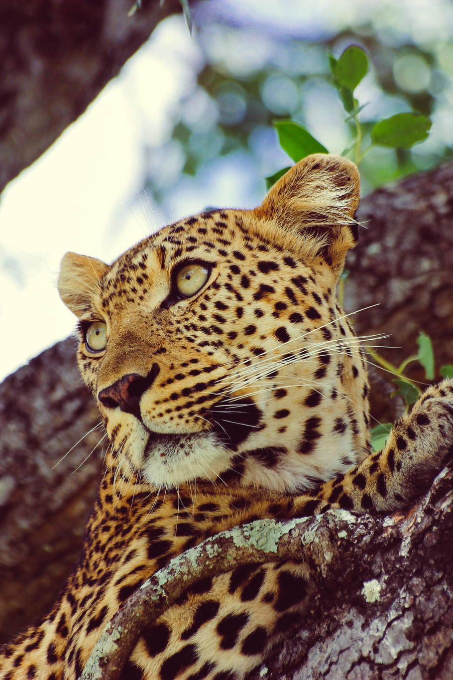 A Leopards Gaze | by: [Shaun Theron]