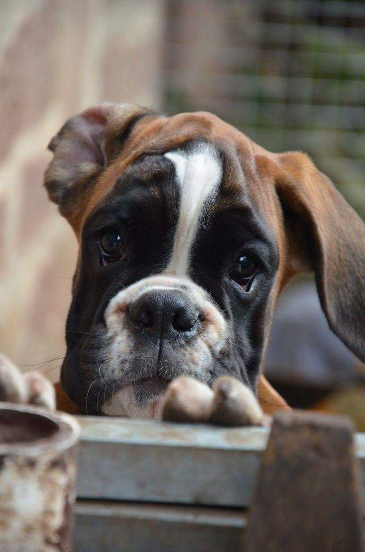 Simple Brindle Boxer Bow Adorable Dog - 61236f95a3ae214172a3ea4c7331c9bb  Image_451397  .jpg