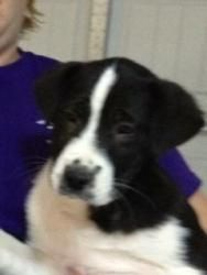 Lincoln Ca Border Collie American Staffordshire Terrier Mix