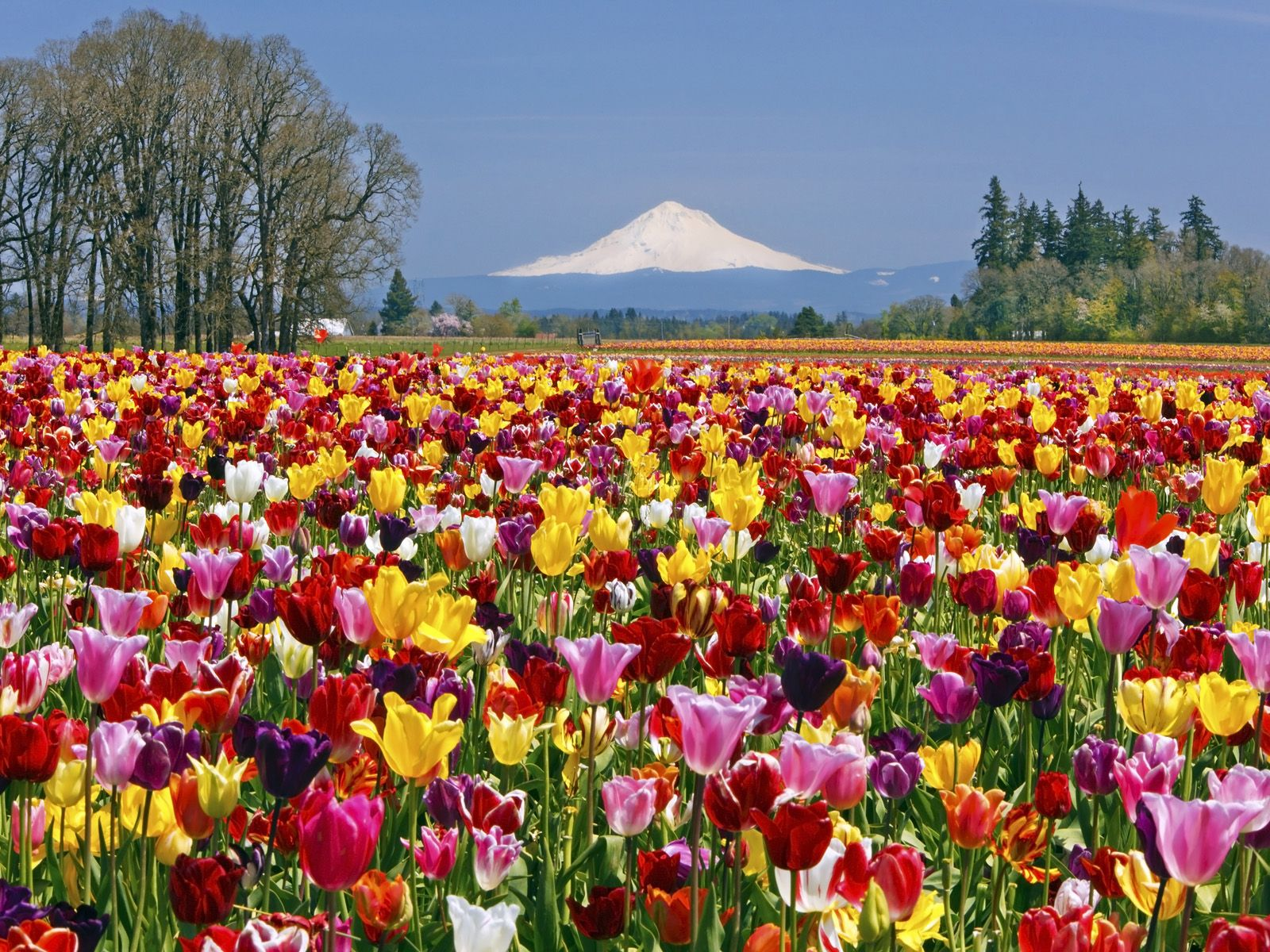 Tulip festival oregon 2015 tulip field wooden shoe for Flower landscape