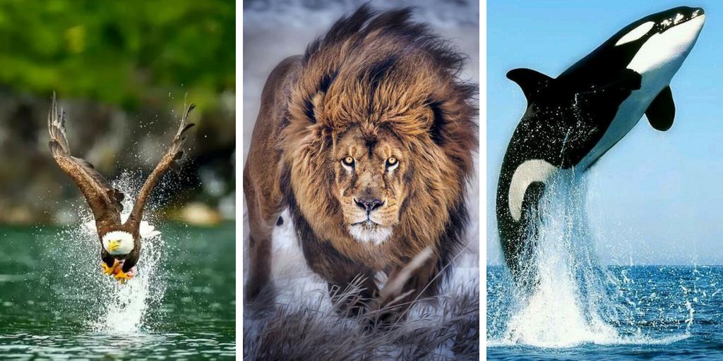 صور حيوانات 2020 شاهد جميع صور الحيوانات البرية و الأليفة Animals Lion