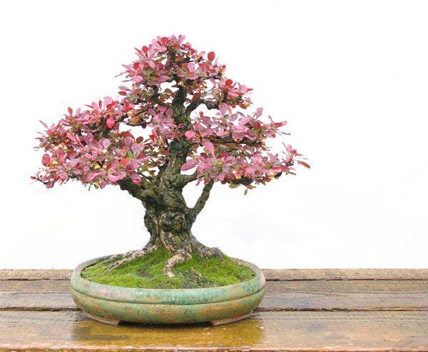 Berberis Thunbergii Bonsai Bonsai Baum Bonsai Pflanzen Und Bonsai