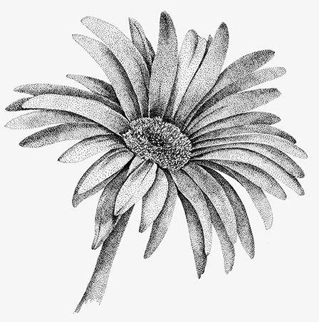 Gerber Daisy Drawing Gerbera Leaves Related Keywords Daisy