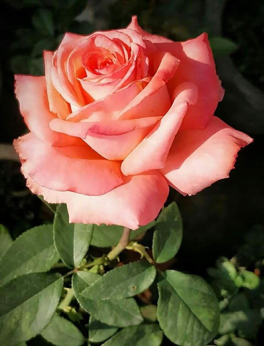Growing Roses My Flower Planting Flowers Orange Pink Most