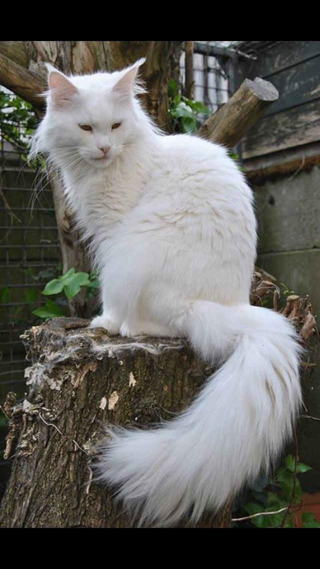 Majestic white coon