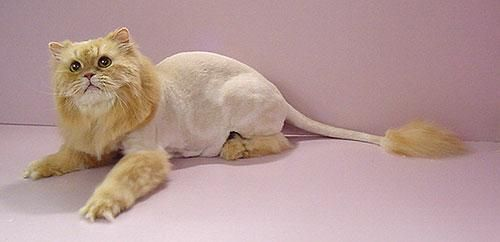 Is This a Cat with a 'Lion Cut'?