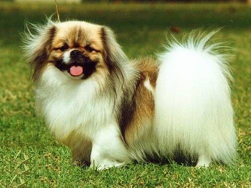 Tibetan Spaniel Dog Breeds Pekingese Dogs Spaniel Breeds