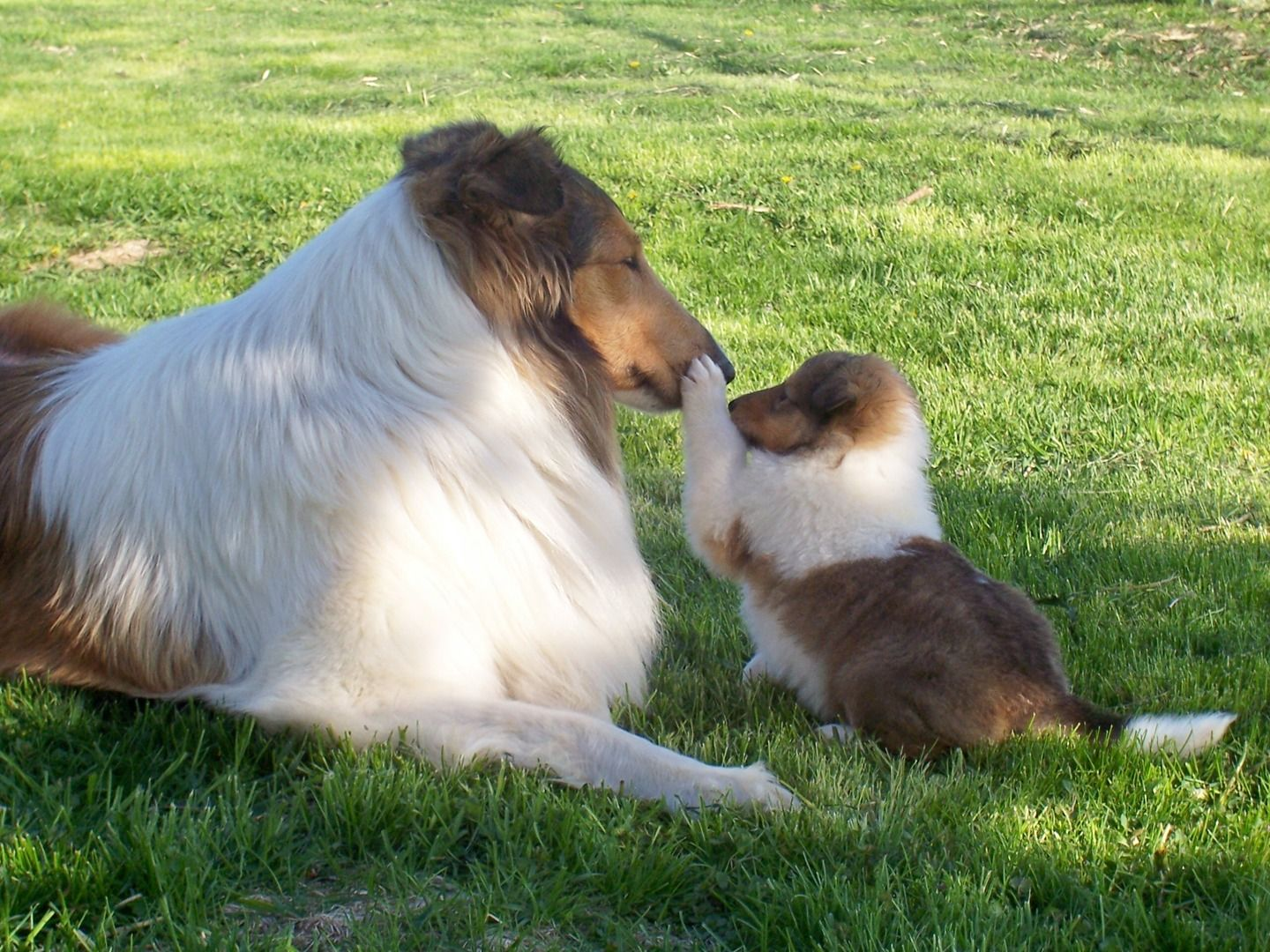 Pin By Lauren O Keefe Young On Pets Collie Puppies For Sale Collie Dog Rough Collie