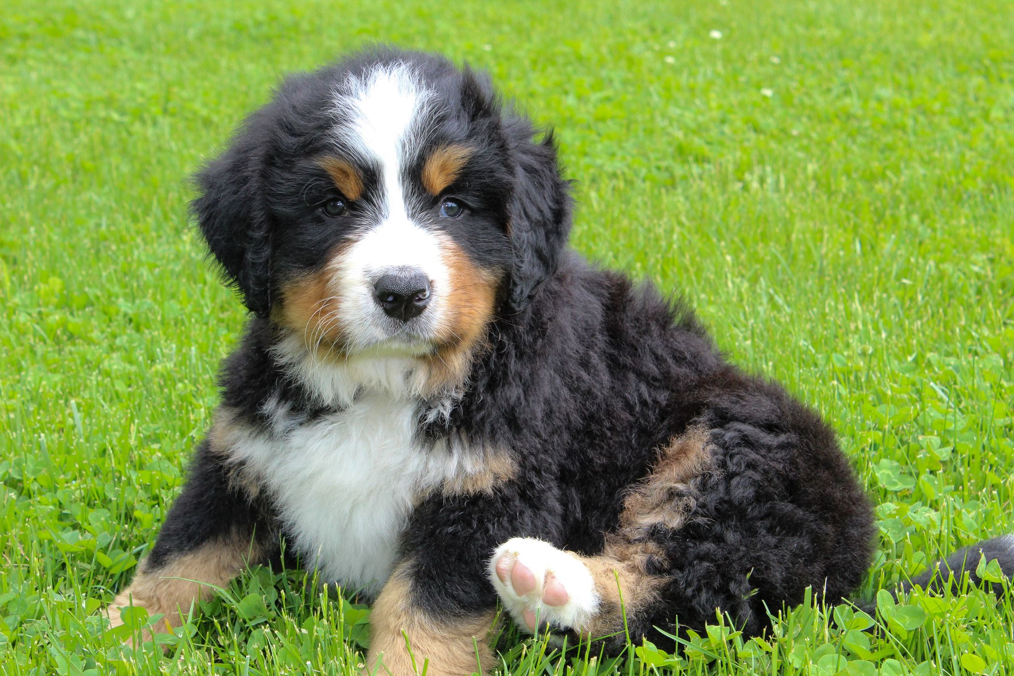 Bernese Mountain Dog Puppies For Sale Bernese Mountain Dog Puppy