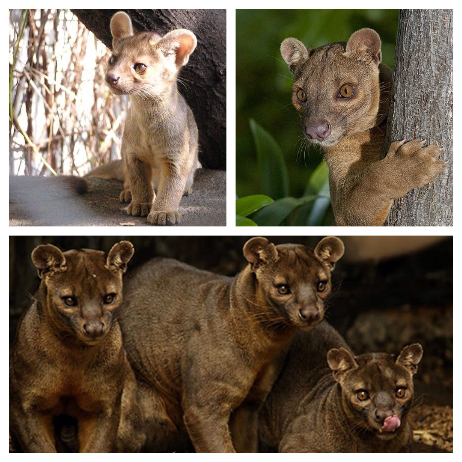 The fossa is a catlike, carnivorous mammal endemic to