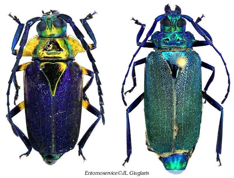 Esmeralda coerulea Male (Left) & Female (Right)